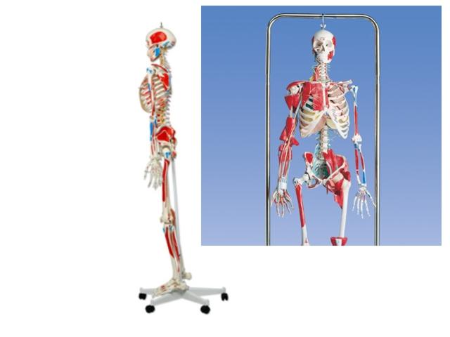 menschliche Skelette