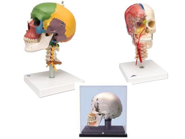 menschliche Schädel und anatomische Modelle - Der Anatom - Med. Groß ...