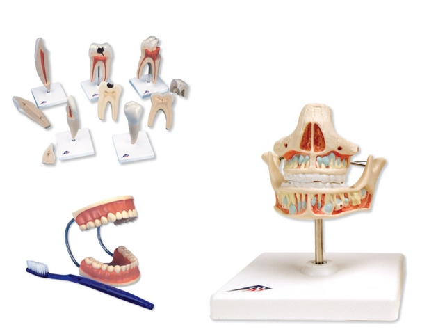 menschliches Gebiß und anatomische Modelle - Der Anatom - Med. Groß ...
