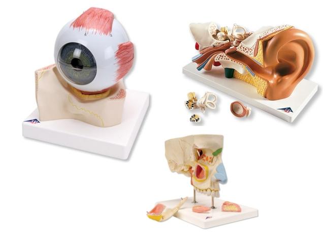 menschliches Auge,Ohr,Nase