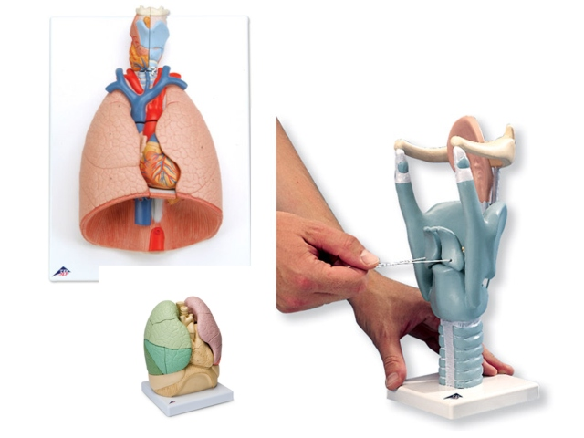menschlicher Kehlkopf und Lunge