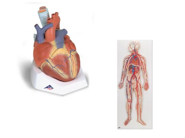 menschliches Herz/Kreislauf