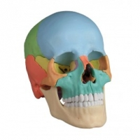 Anatomische und pathologische Modelle, Akupunkturmodelle