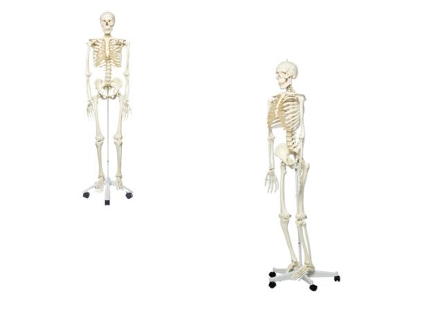 Standard Skelett, 5 Fuß Rollenstativ