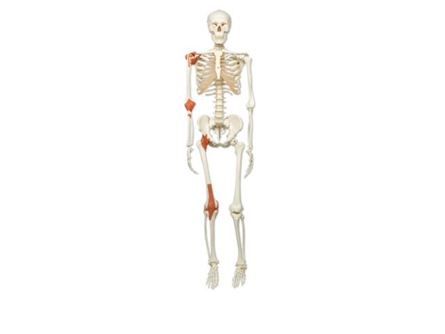 Klassik Skelett, mit Gelenkbändern