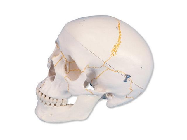 Klassik Schädel, 3-teilig, mit Nummerierung