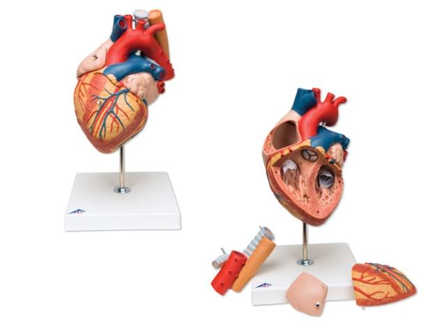 Herz m Luft & Speiseröhre,2-fache Größe,5-teilig