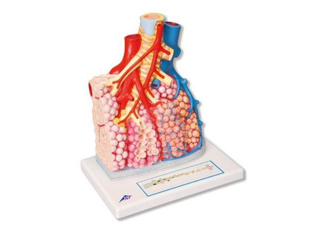 Lungenläppchen