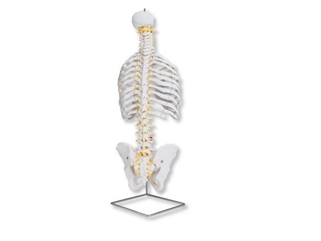 klassische flexible Wirbelsäule mit Brustkorb